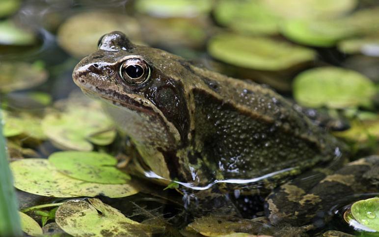 Việc nằm mơ thấy ếch là một điều đem lại may mắn cho gia chủ. (Nguồn: kuviet.com)